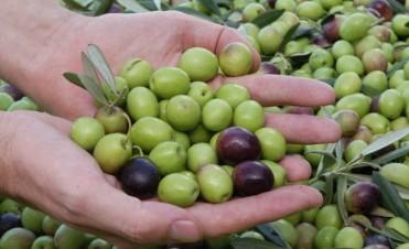 La Secretaría de Producción de la Municipalidad de Andalgalá espera una buena cosecha de aceitunas